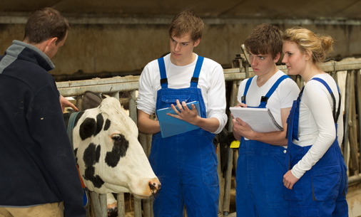 Youth studying cows